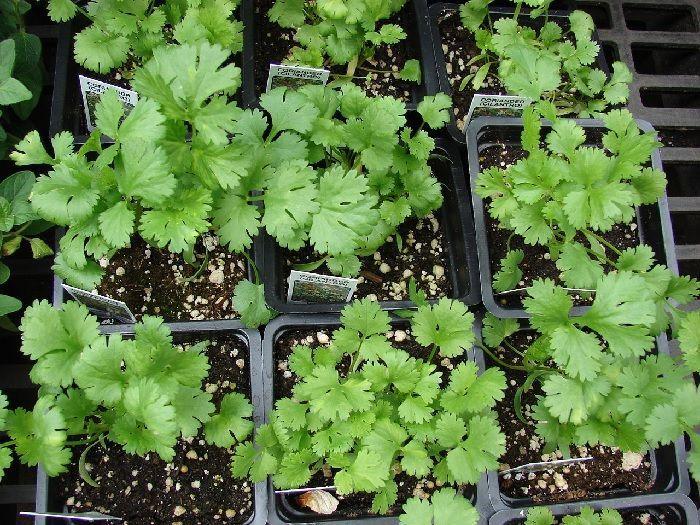 Cultivo de cilantro