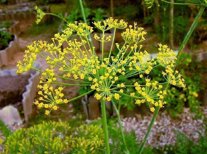 Floración de Anethum graveolens