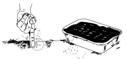 cómo sembrar cilantro