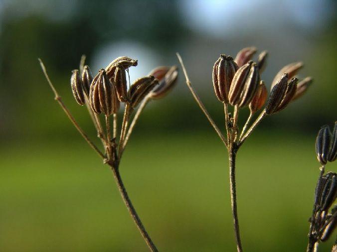 semillas de anís Pimpinella anisum
