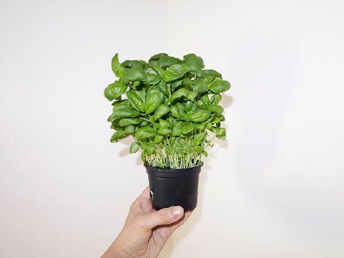 maceta con albahaca plantas aromáticas