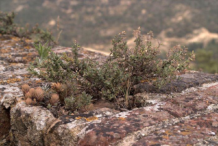 Tomillo sobre muro. Plantas aromáticas