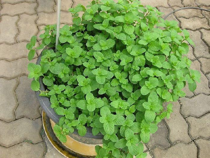 Maceta con hierbabuena, plantas aromáticas