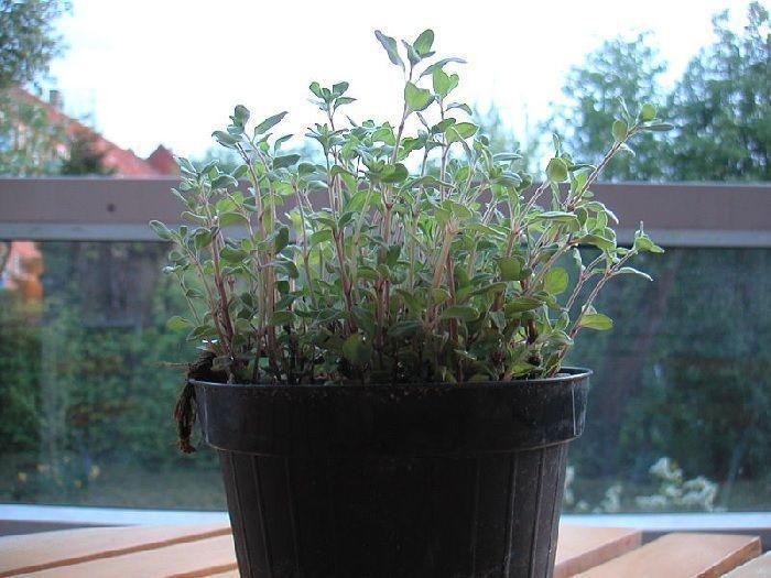 Orégano en maceta. Plantas aromáticas