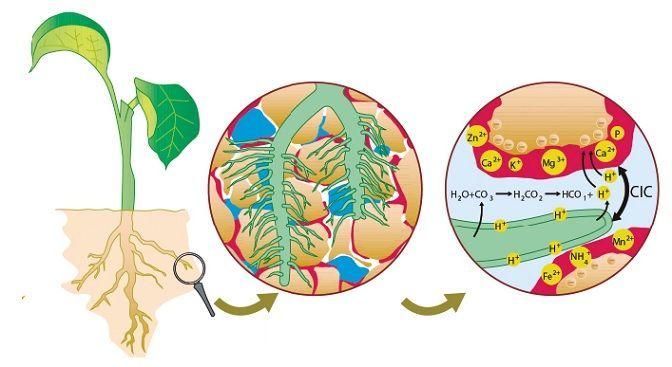 atracción molecular del compost y la raíz