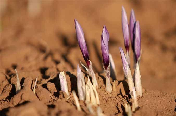 Crecimiento y germinación del azafrán