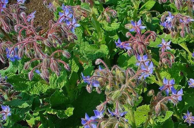Borago officinalis  plantas aromáticas