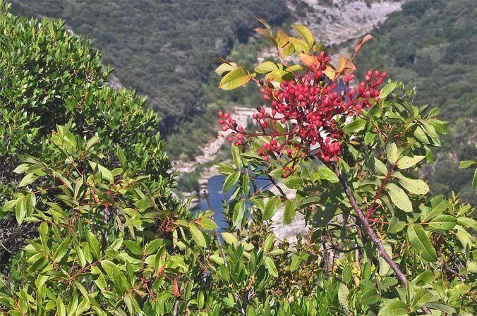 Aspecto Cornicabra o Pistacia terebinthus