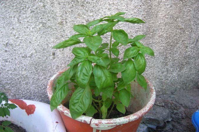 C mo multiplicar plantas medicinales y arom ticas - Plantas aromaticas en maceta ...
