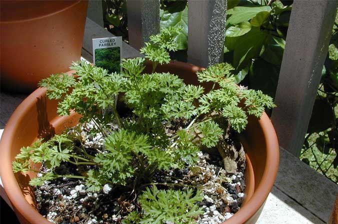 Perejil planta aromática