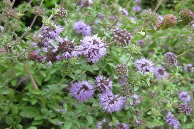 planta medicinal poleo