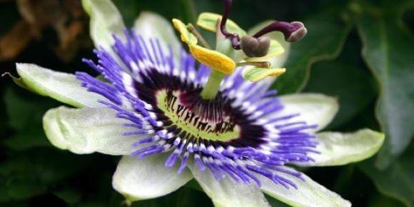 pasiflora planta medicinal para dormir bien