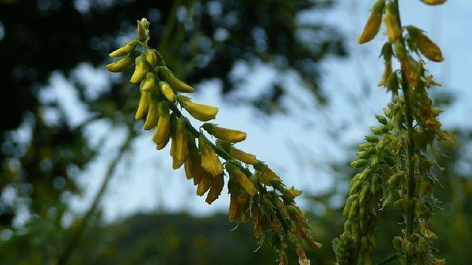 Cultivo de melilotus officinalis