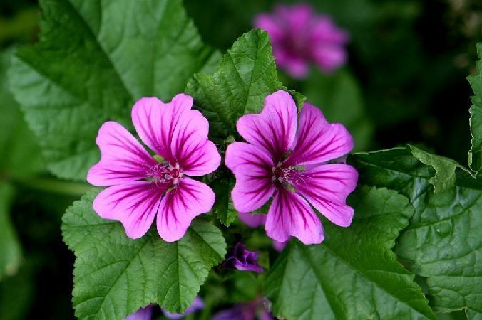 Flores de malva